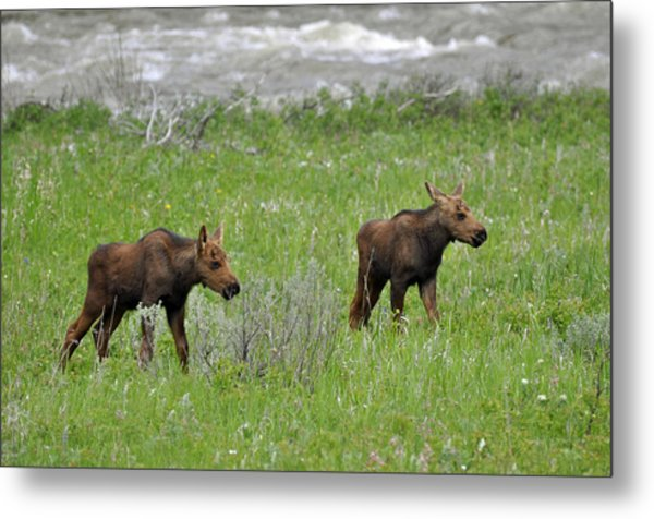 Baby Moose On The Banks Of The Gallatin Metal Print