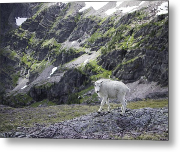 Baby Mountain Goat At Comeau Pass Metal Print