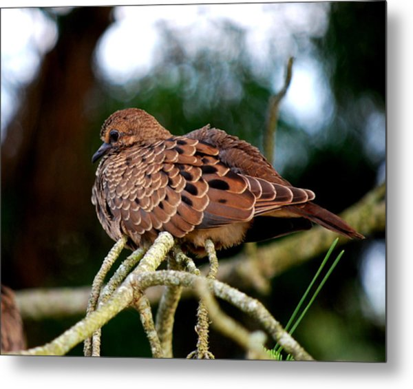 Baby Mourning Dove Metal Print
