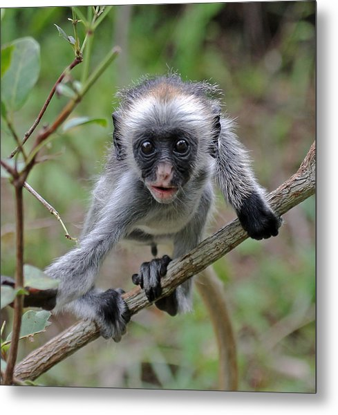 Baby Red Colobus Monkey Metal Print