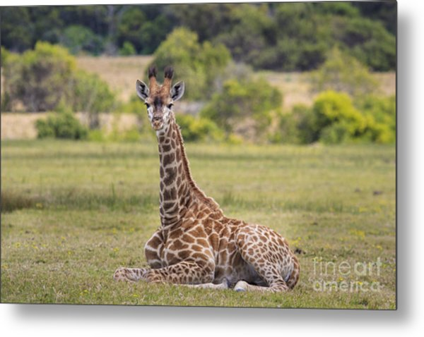 Baby Series Giraffe Metal Print
