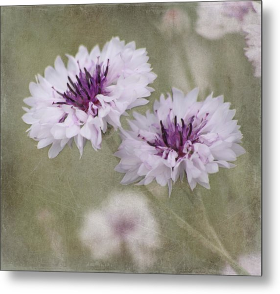 Bachelor Buttons - Flowers Metal Print
