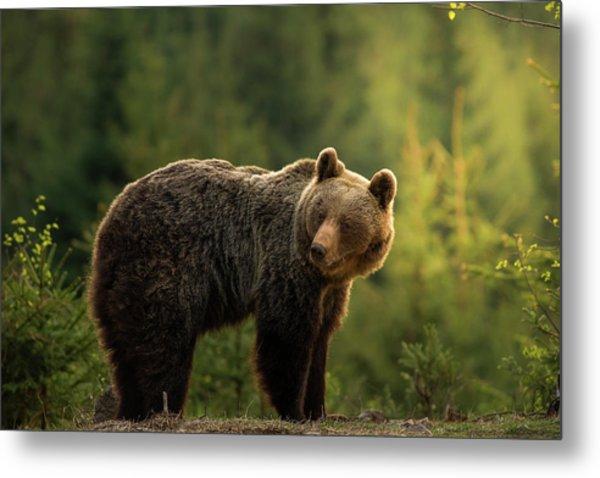 Backlit Bear Metal Print