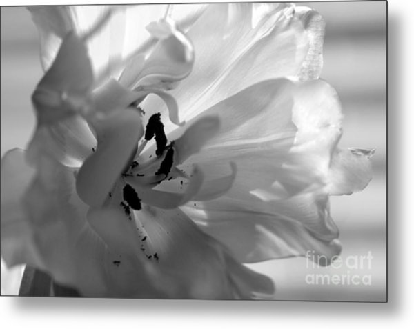 Backlit Black And White Tulip Metal Print