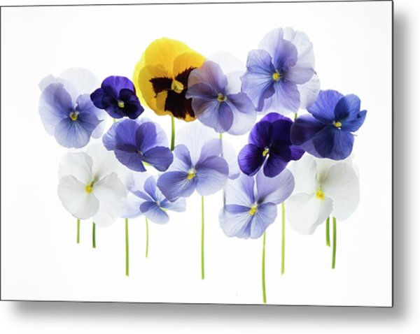 Backlit Pansies Metal Print by Photostock-israel/science Photo Library