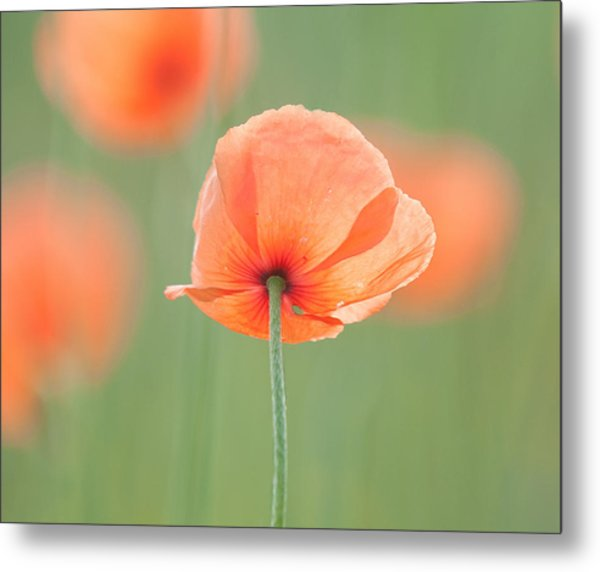Backlit Poppies Metal Print