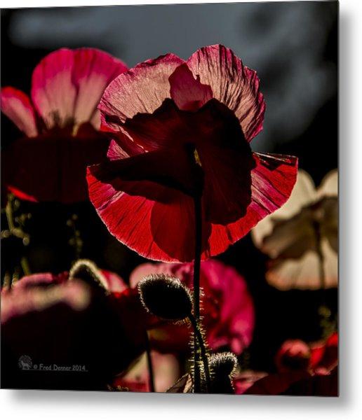 Backlit Poppy #2 Metal Print