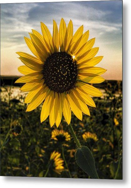 Backlit Sunflower Metal Print
