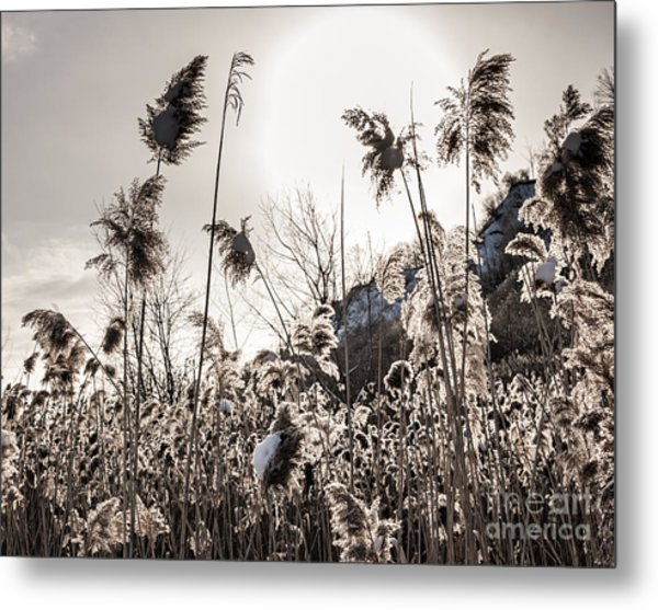 Backlit Winter Reeds Metal Print