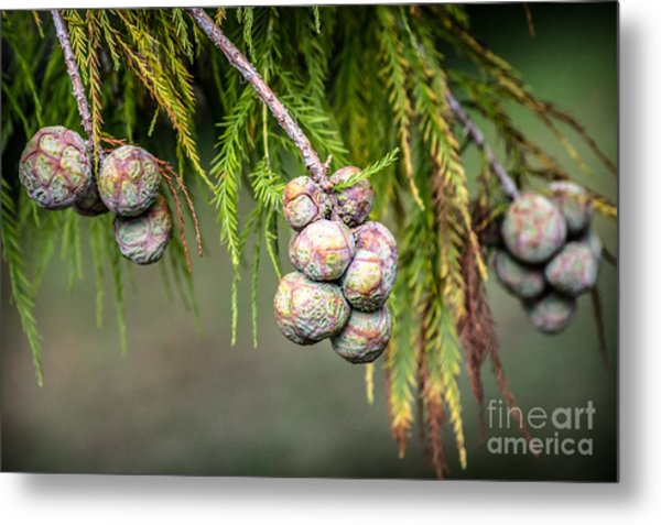 Bald Cypress Tree Seed Pods Metal Print
