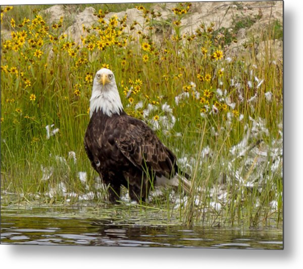 Bald Eagle @ Lunch  Metal Print