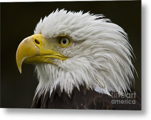 Bald Eagle - 7 Metal Print