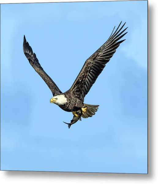 Bald Eagle Flying Holding Freshly Caught Fish Metal Print