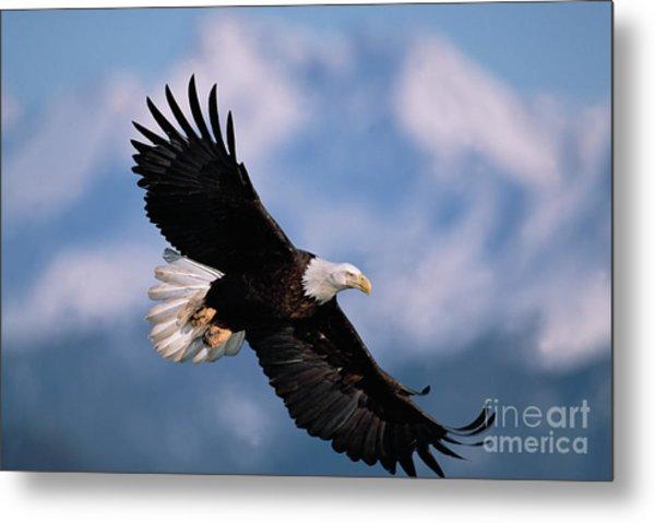 Bald Eagle Flying Kachemak Bay Metal Print