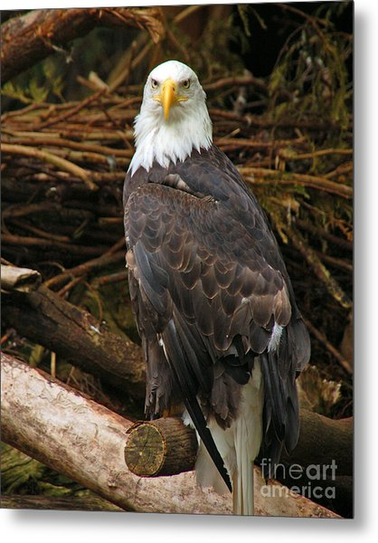 Bald Eagle I Metal Print