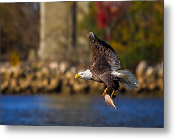 Bald Eagle In Flight Over Water Carrying A Fish Metal Print