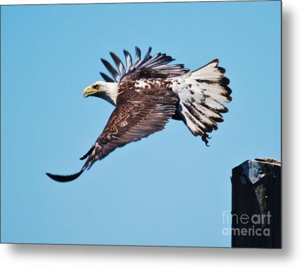Bald Eagle In Ucluelet Metal Print