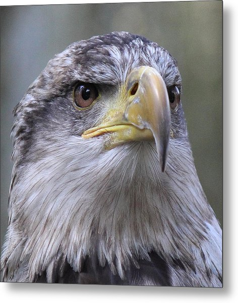 Bald Eagle - Juvenile Metal Print