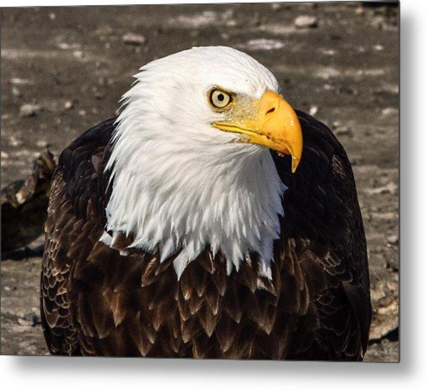 Bald Eagle Looking At You Metal Print
