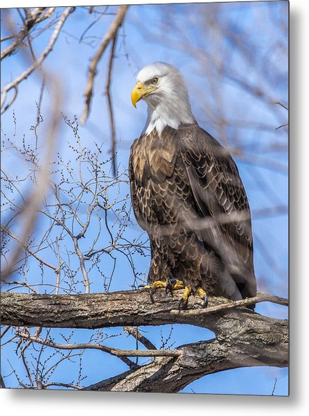 Bald Eagle On The Iowa River Metal Print