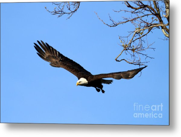 Bald Eagle Out Of The Tree Metal Print by Darrin Aldridge