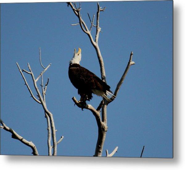 Bald Eagle Talking Metal Print