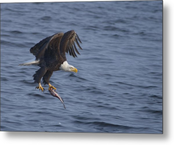 Bald Eagle With A Fish Metal Print