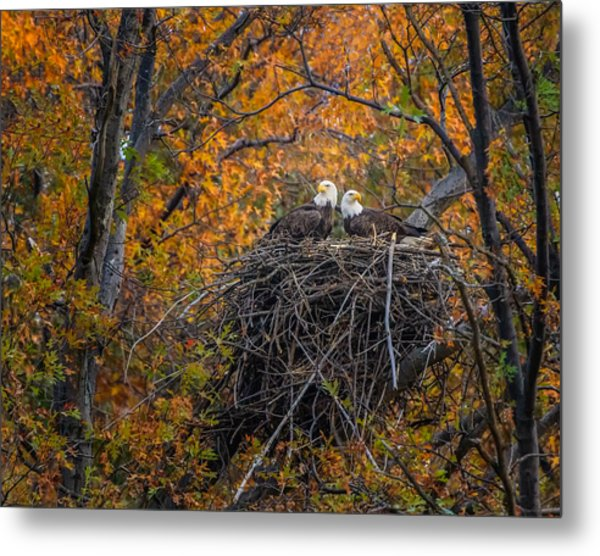 Bald Eagles Nest In Fall Metal Print
