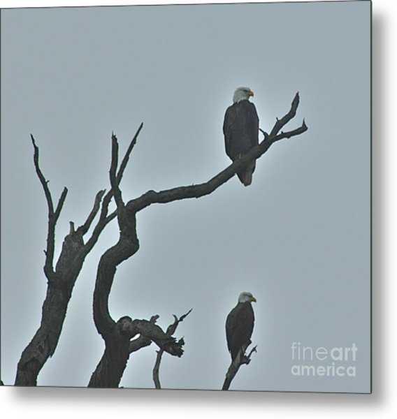 Bald Eagles  Metal Print
