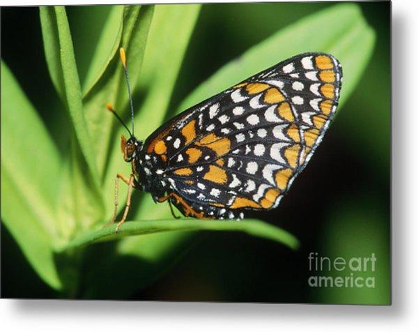 Baltimore Checkerspot Butterfly Metal Print