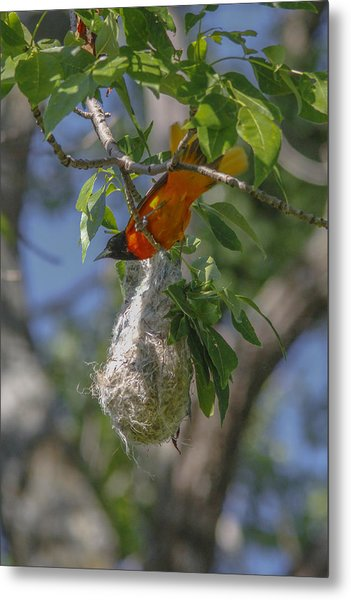 Baltimore Oriole And Nest Metal Print by Jill Bell