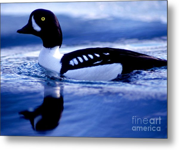Banff - Barrows Goldeneye Metal Print