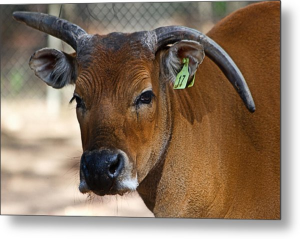 Banteng Girl Metal Print
