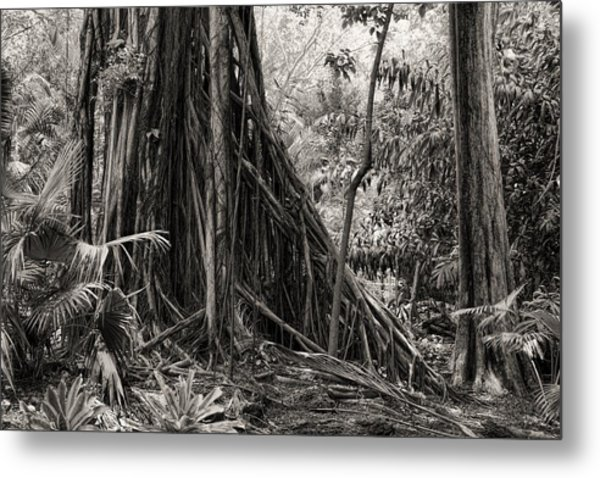Strangler Fig And Cypress Tree Metal Print