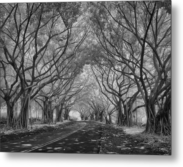 Banyan Tree Lined Road Metal Print