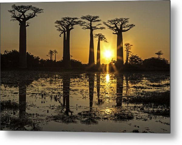 Baobab Sunset Metal Print