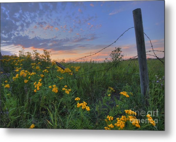 Barbed Wire And Common Tansy Metal Print