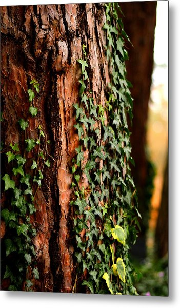Bark And Ivy Metal Print by Jacqui Collett