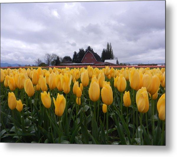 Barn And Yellow Tulips Metal Print