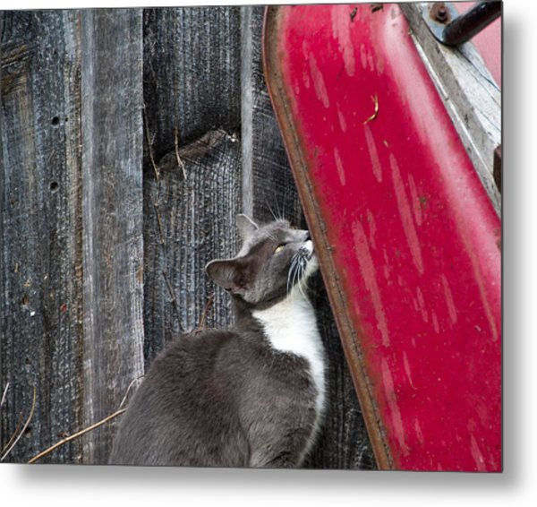Barn Cat Metal Print by Nickaleen Neff