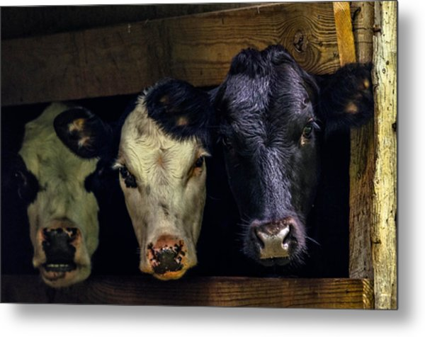 Barn Cows Metal Print