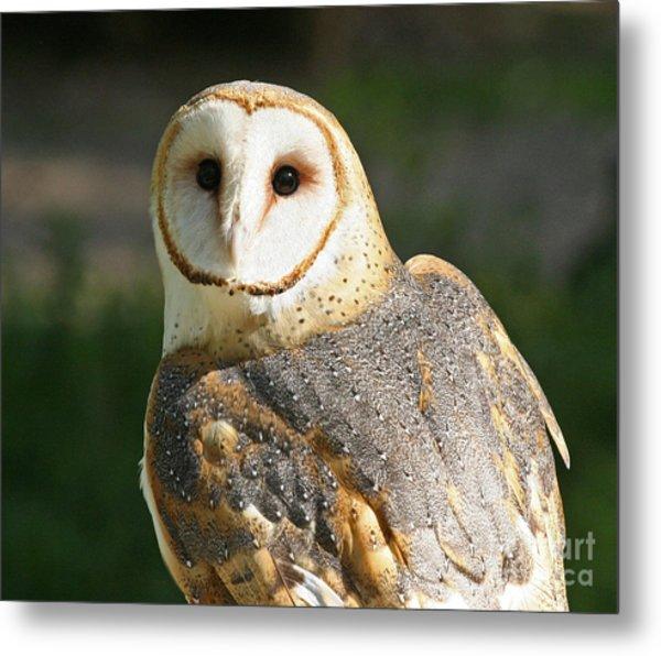 Barn Owl In Bright Sun Metal Print