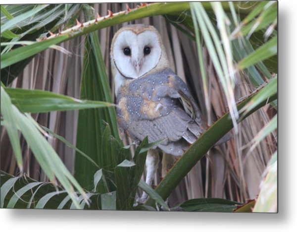 Barn Owl Metal Print by Joe Sweeney