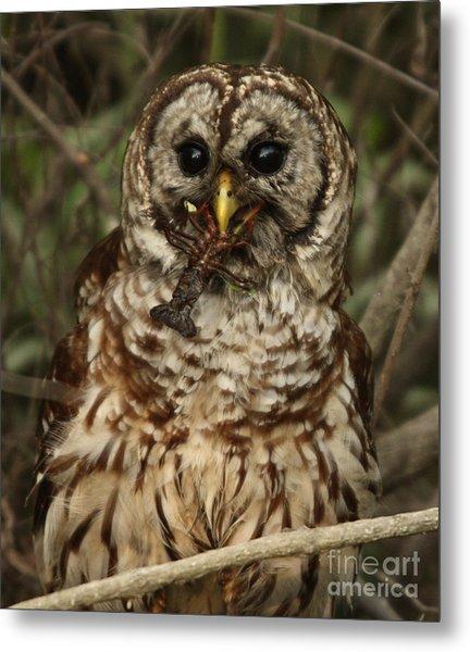 Barred Owl Eating Crawfish Metal Print by Kelly Morvant