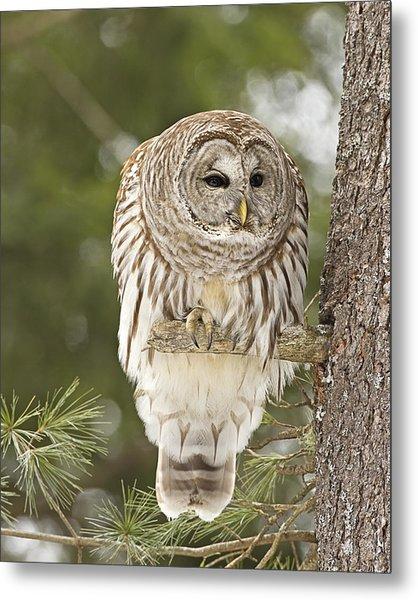 Barred Owl Hunting Metal Print