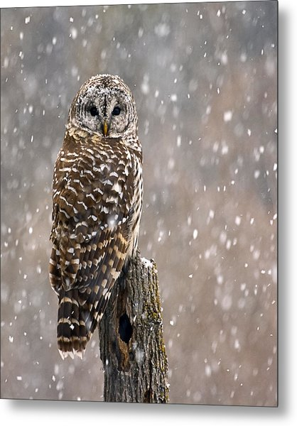 Barred Owl In A New England Snow Storm Metal Print