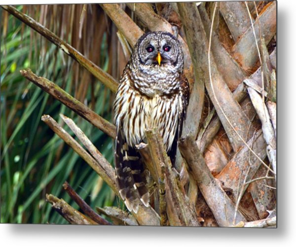 Barred Owl In Palm Tree Metal Print