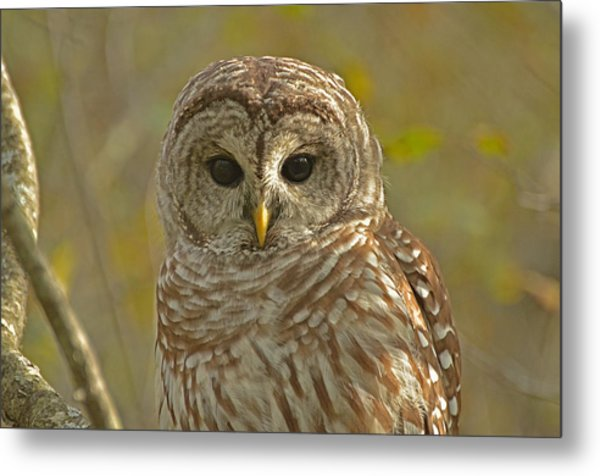 Barred Owl Looking At You Metal Print