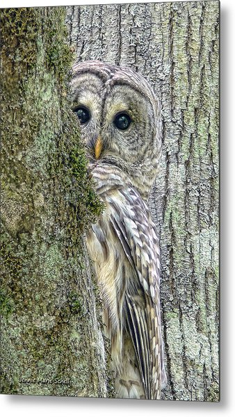 Barred Owl Peek A Boo Metal Print