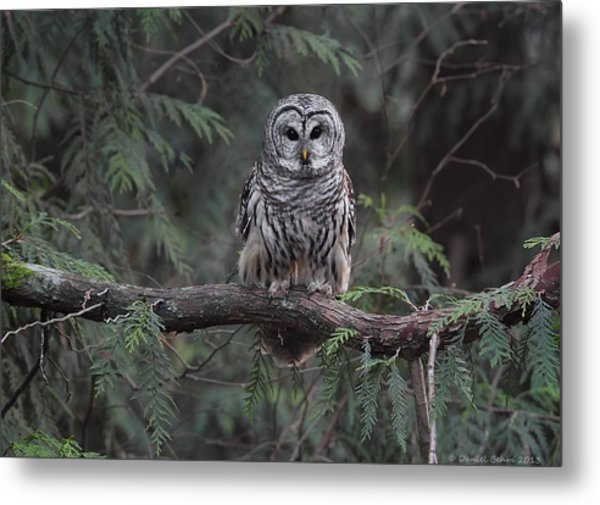 Barred Owl Stare Down Metal Print